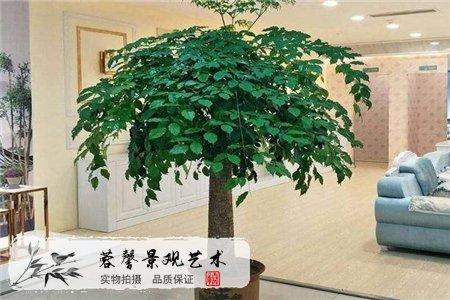 9种镇宅旺财树